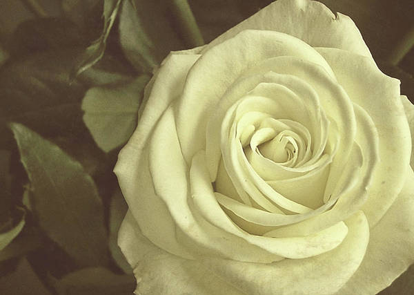 Rose Art Print featuring the photograph Timeless Rose by JAMART Photography