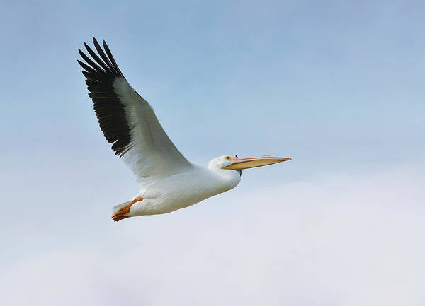 American White Pelican Art Print featuring the photograph Above The Clouds by Fraida Gutovich