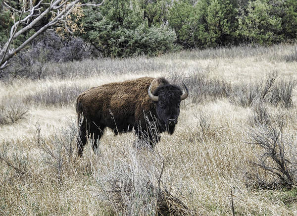 American Bison Art Print featuring the photograph American Bison by Phyllis Taylor