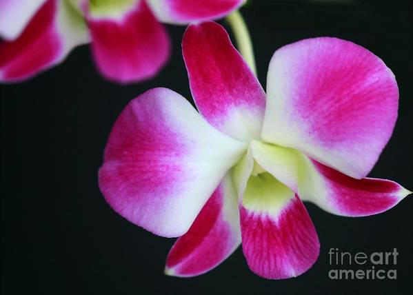 Flower Art Print featuring the photograph An Orchid by Sabrina L Ryan