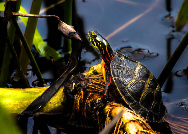 Turtles Art Print featuring the photograph Ant Meets Turtle by Bob Orsillo