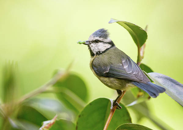 Blue Tit Art Print featuring the photograph Blue Tit With Caterpillar by Alan Grant