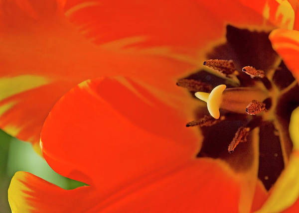 Color Art Print featuring the photograph Bold Tulip by Alan Raasch