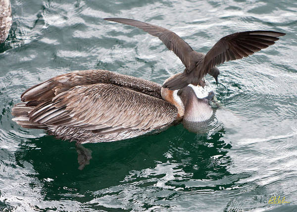 Brown Pelican Art Print featuring the photograph Brown Pelican And His Friend Brown Noddy by Robert Selin
