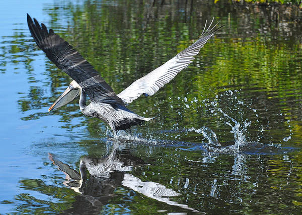 Pelican Art Print featuring the photograph Brown Pelican Taking Off by Alan Lenk