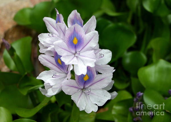 Hyacinth Art Print featuring the photograph Candlelight Water Hyacinth Bloom by Camm Kirk
