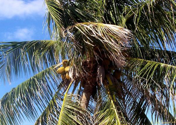 Palm Tree Art Print featuring the photograph Cayman Palm by Elise Samuelson