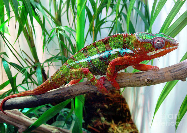 Chameleon Art Print featuring the photograph Colorful Chameleon by Nancy Mueller