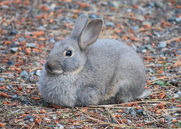 Rabbit Art Print featuring the photograph Cute Campground Rabbit by Carol Groenen