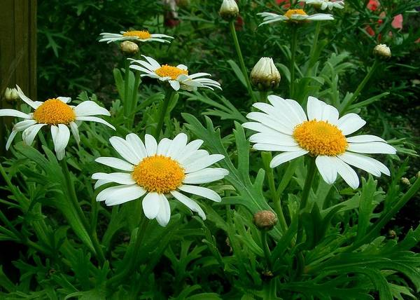 Daisy Art Print featuring the photograph Daisey Delight by Jim Darnall