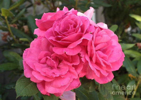 Pink Art Print featuring the photograph Energizing Pink Roses by Carol Groenen