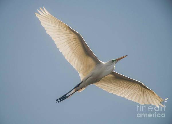 White Egret Art Print featuring the photograph Great White Egret by David Bearden