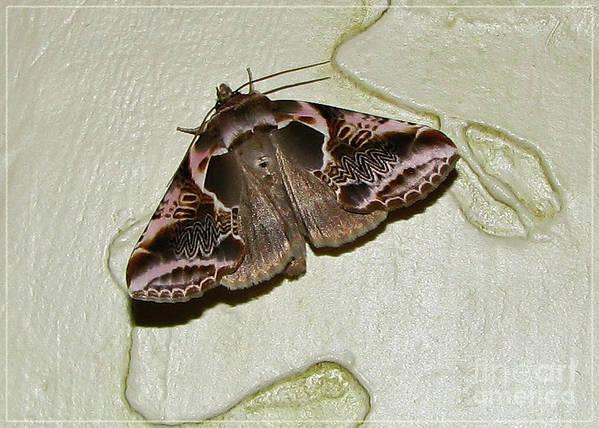 Moth Art Print featuring the photograph Habrosyne Scripta by Deborah Johnson