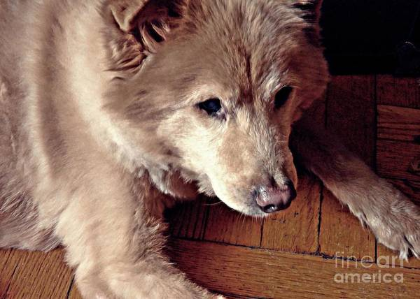 Dog Art Print featuring the photograph Little Bear In Old Age by Sarah Loft