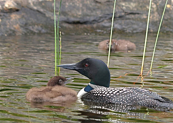 Loon Art Print featuring the photograph Loon Time by Peter Gray