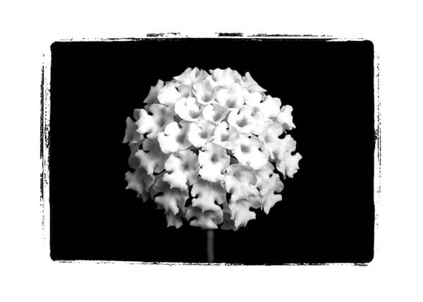 Black And White Macro Flower Stem Border Art Print featuring the photograph Mini Bunch by William Haney