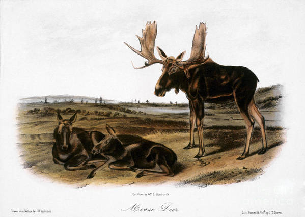 1846 Art Print featuring the photograph Moose Deer (cervus Alces) by Granger