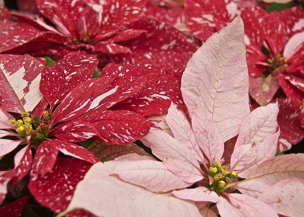 Poinsettia Art Print featuring the photograph Painted Poinsettias by Michael Peychich