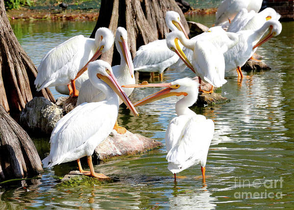 Fighting Birds Art Print featuring the photograph Pelican Squabble by Carol Groenen
