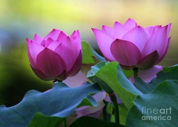 Lotus Art Print featuring the photograph Pink Lotus by Sabrina L Ryan