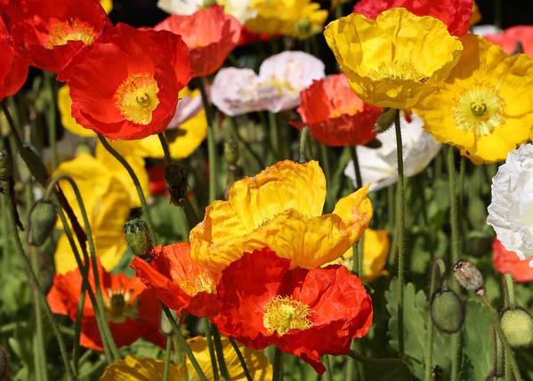 Poppy Art Print featuring the photograph Poppy Flower Garden by Debi Dalio
