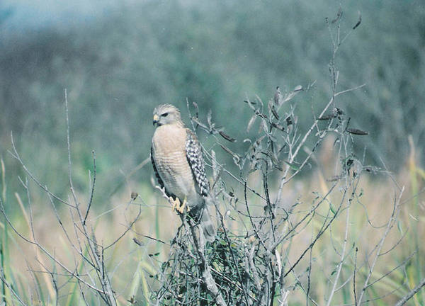 Animal Art Print featuring the photograph Red Shouldered Hawk by Cindy Gregg