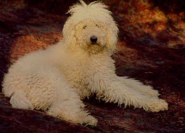 Poodle Art Print featuring the photograph Rommyangelo by Terrell Gates