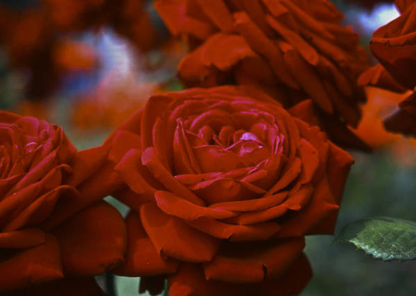 Roses Art Print featuring the photograph Rose by Wes Shinn