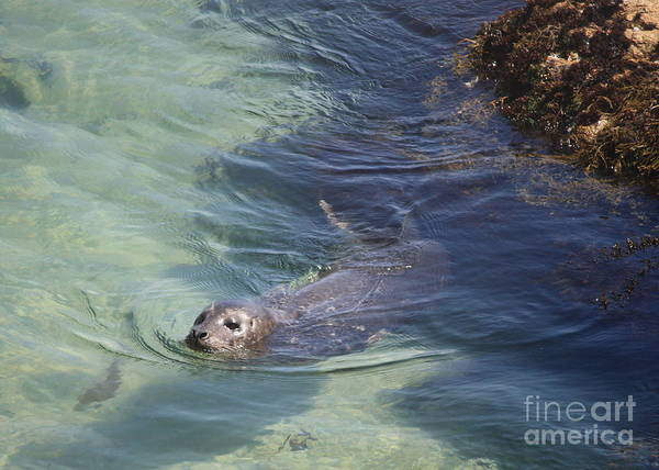 Sea Lion Art Print featuring the photograph Sea Lion In Clear Blue Waters by Carol Groenen