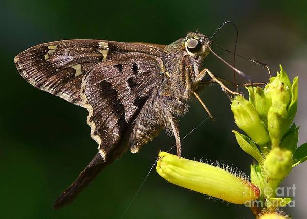 Butterfly Art Print featuring the photograph Skipper Delight by Lisa Renee Ludlum
