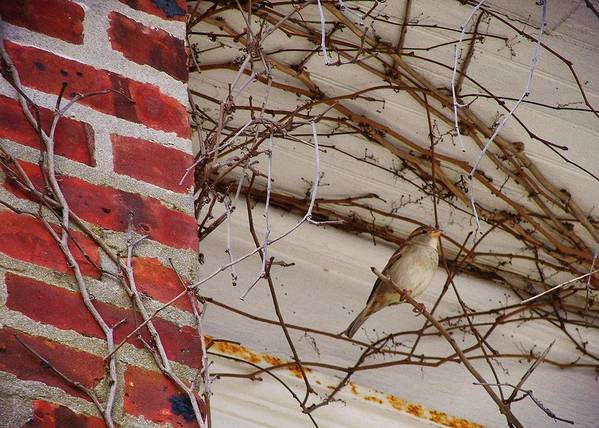 Sparrow Art Print featuring the photograph Sparrow by JAMART Photography