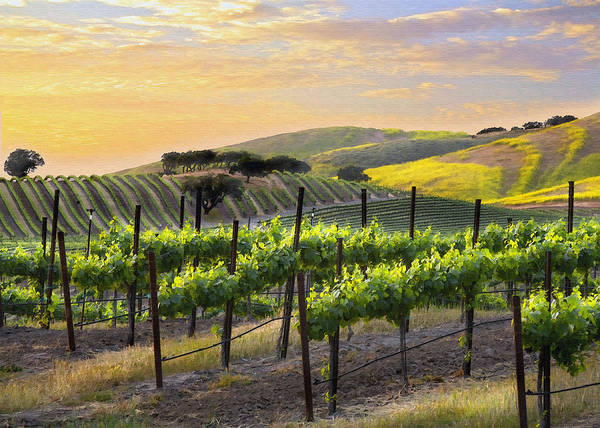 Vineyard Print featuring the photograph Sunset Vineyard by Sharon Foster