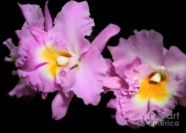Orchid Art Print featuring the photograph Two Frilly Orchids by Sabrina L Ryan