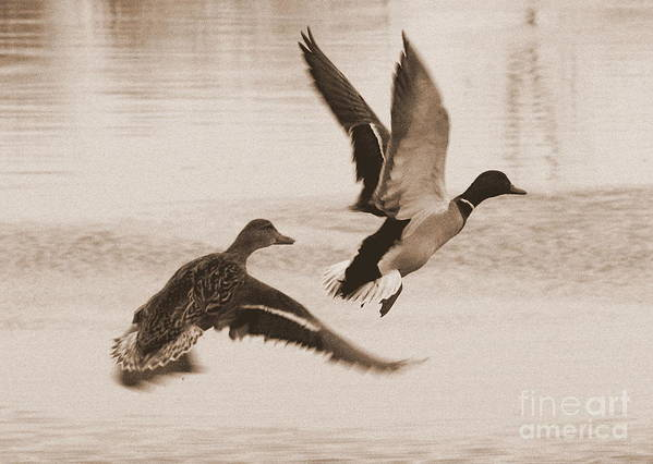 Ducks Art Print featuring the photograph Two Winter Ducks In Flight by Carol Groenen