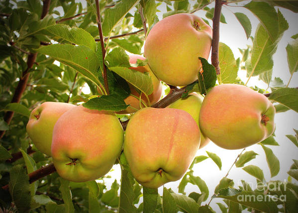 Fruits Art Print featuring the photograph Backyard Garden Series - Apples In Apple Tree by Carol Groenen