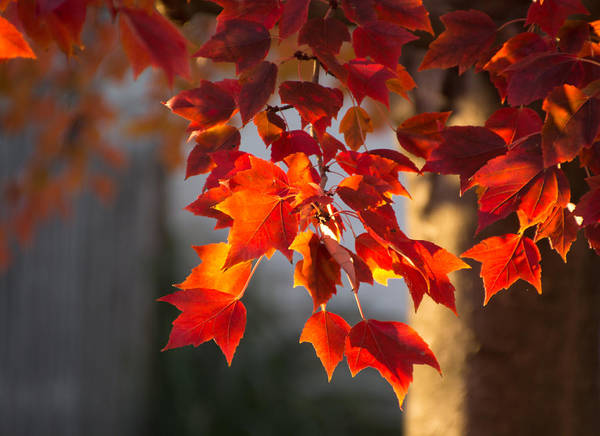 Autumn Leaves Art Print featuring the photograph Golden Hour by Cathy Donohoue