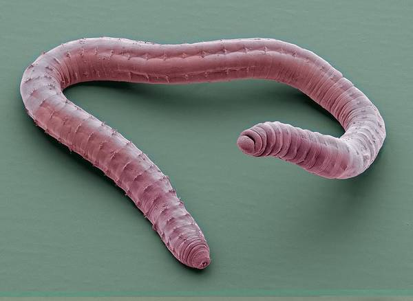 Coloured Art Print featuring the photograph Annelid Worm, Sem by Science Photo Library