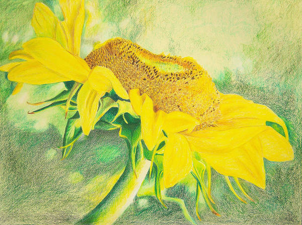 Sunflower Art Print Art Print featuring the mixed media Sunflower Print Art For Sale Colored Pencil Floral by Diane Jorstad
