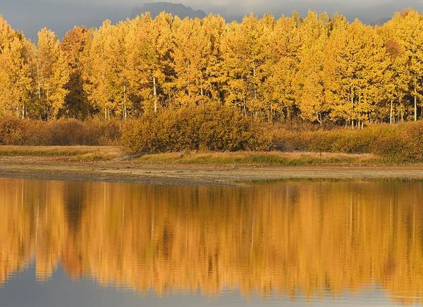 Populus Tremuloides Print featuring the photograph Autumn Aspens Reflected In Snake River by David Ponton