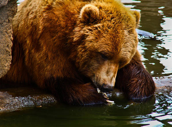 Bear Art Print featuring the photograph Bearly Wet by Steve Wilkes