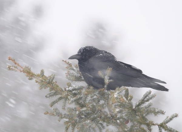 Crow  Wind  Snowstorm Art Print featuring the photograph Blowin' In The Wind - Crow by Sandra Updyke