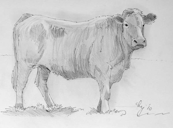 Cow Pencil Drawing Art Print