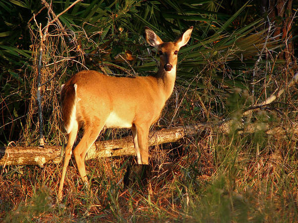 Animal Photography Art Print featuring the photograph Doe At Sunset. Lake Kissimmee S.p. by Chris Kusik