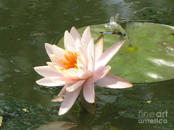 Dragon Fly Art Print featuring the photograph Dragonfly Landing by Amanda Barcon