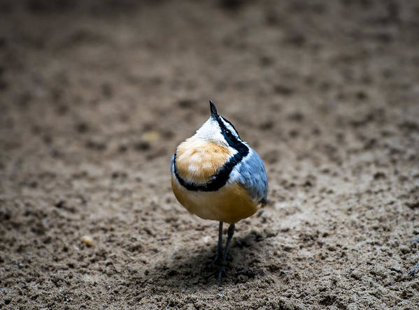 Birds Art Print featuring the photograph Egyptian Plover by Phil Abrams