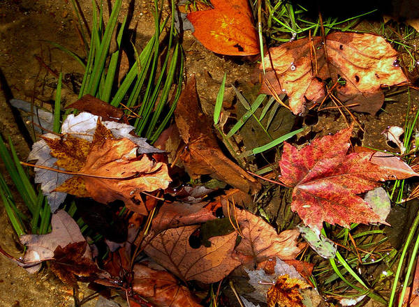 Fall Art Print featuring the photograph Fall Leaves 5 by Skip Willits
