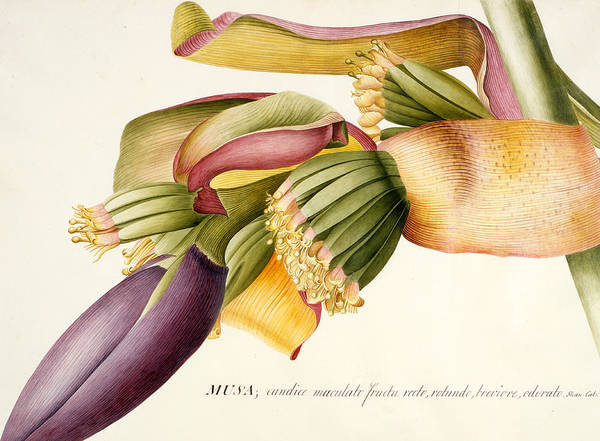 Ehret Print featuring the painting Flower Of The Banana Tree by Georg Dionysius Ehret