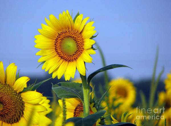 Sunflower Art Print featuring the photograph Getting To The Sun by Amanda Barcon