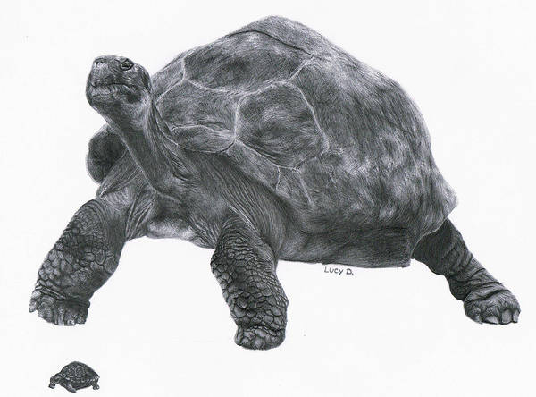 Giant Tortoise Art Print featuring the drawing Giant Tortoise by Lucy D
