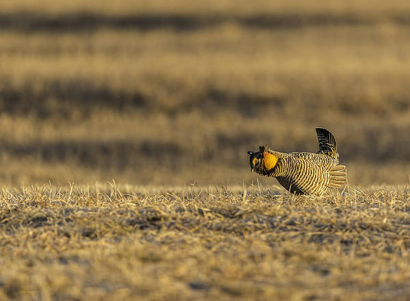Prairie Chicken Art Print featuring the photograph Golden Light On The Prairie by Thomas Young